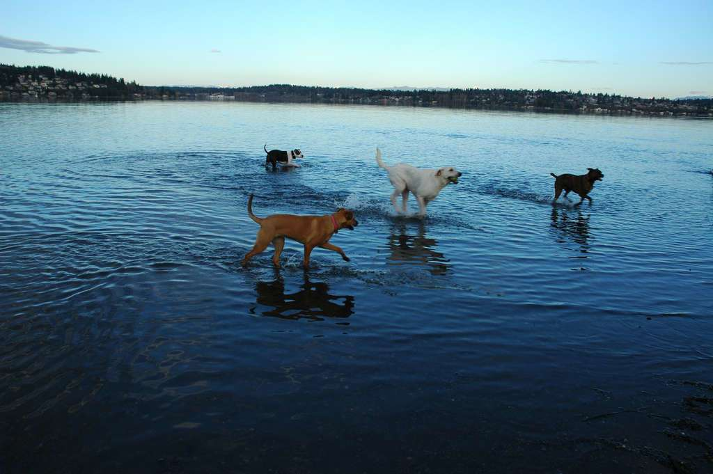 Wonderlane Follow Rosie and her doggy pals, sporting in the water, Lake Washington from Warren G. Magnuson Park, Dog Park shore, Seattle, Washington, USA