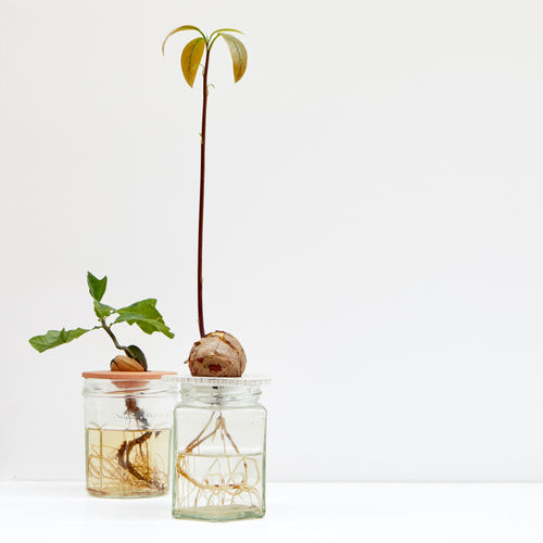 Studio Jan.ne.ke DIY Avocado Growing Kit 1