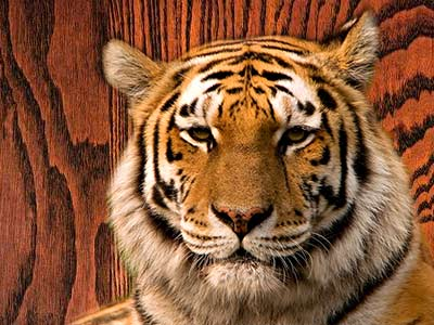 Tiger on wood grain background