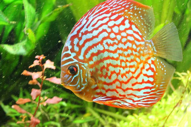 Proper Water Parameters for Stendker Discus