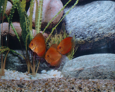 Marlboro Red Discus Fish