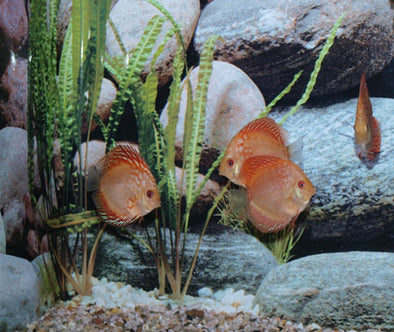 Pigeon Blood Discus Fish - Red