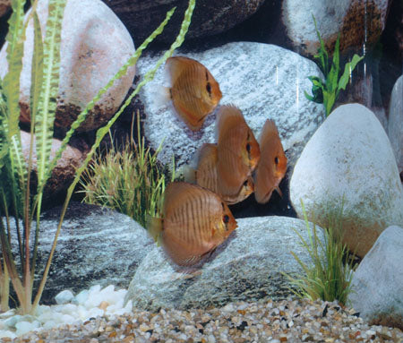 Snakeskin Red Discus Fish