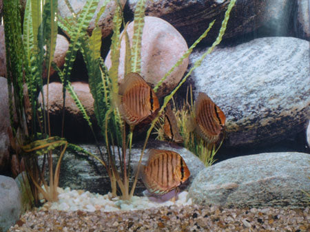 Brilliant Discus Fish