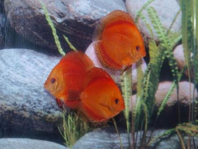 Fire Red Discus Fish