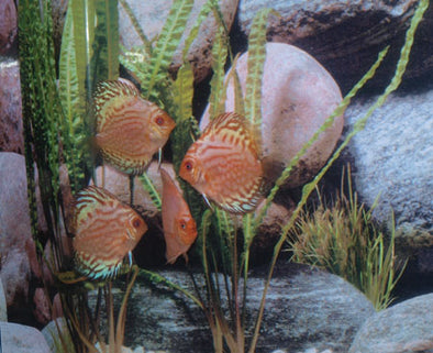 Pigeon Blood Discus Fish - Silver