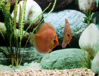 Leopard Snakeskin Discus Fish