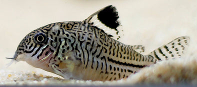 Corydoras trilineatus (Three stripe cory)