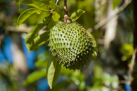 soursop fruit from annona muricata