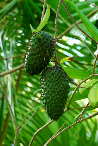 Jamaica soursop fruit in tree