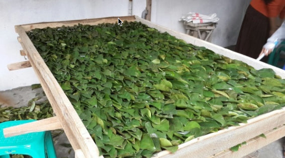 Organic soursop leaves for tea - SoursopStore.com