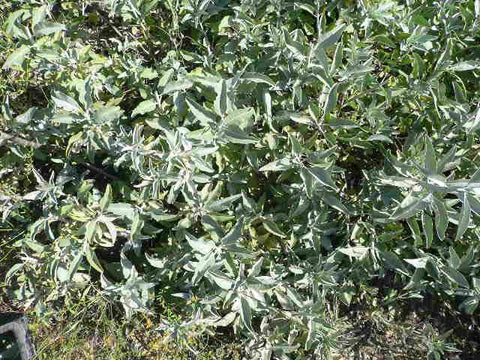 White Sage - Essential Oil