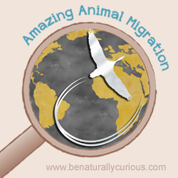 Amazing Animal Migrations Printables