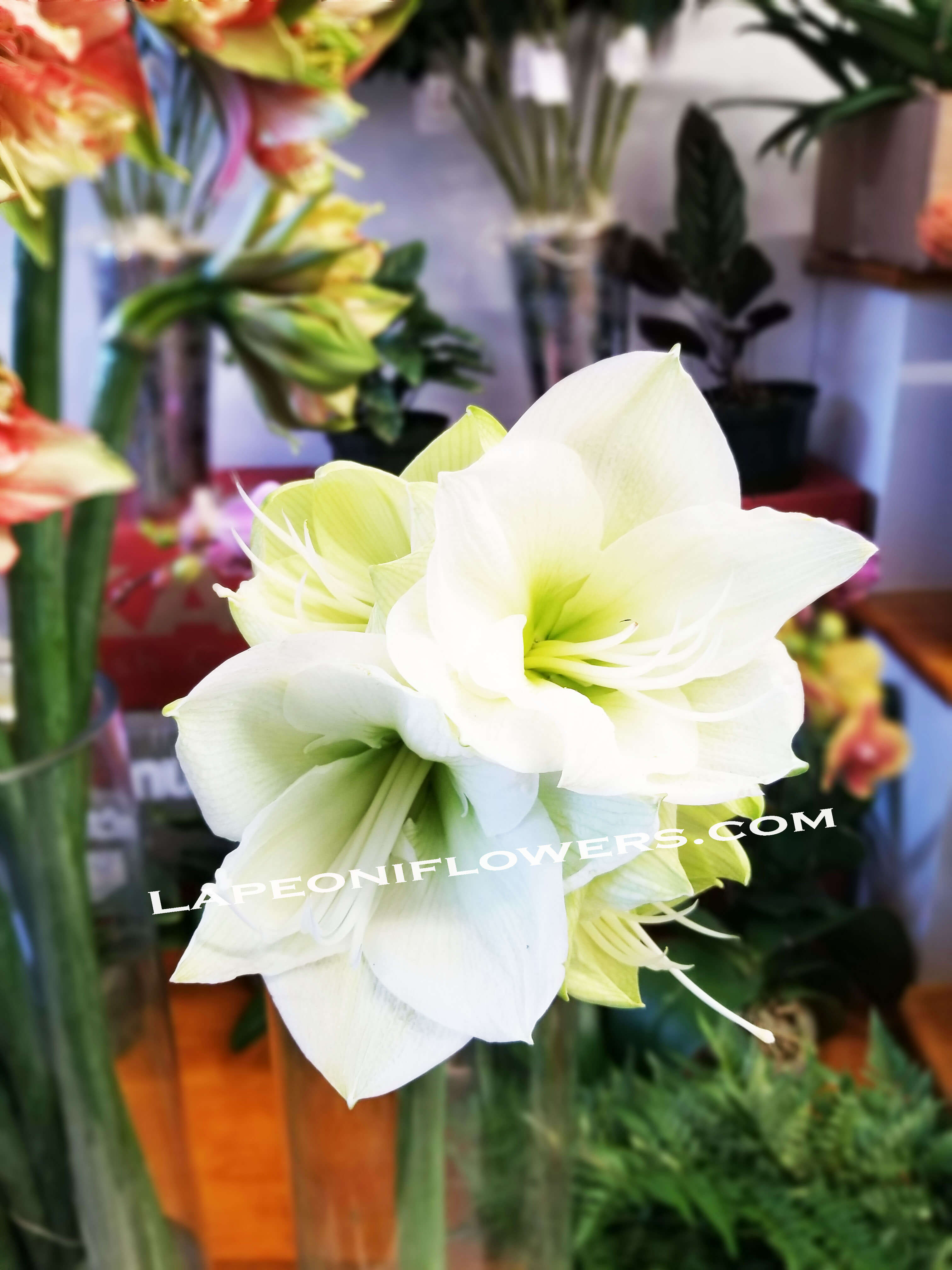 Amarylis Bouquet - Lapeoni Flowers and Events