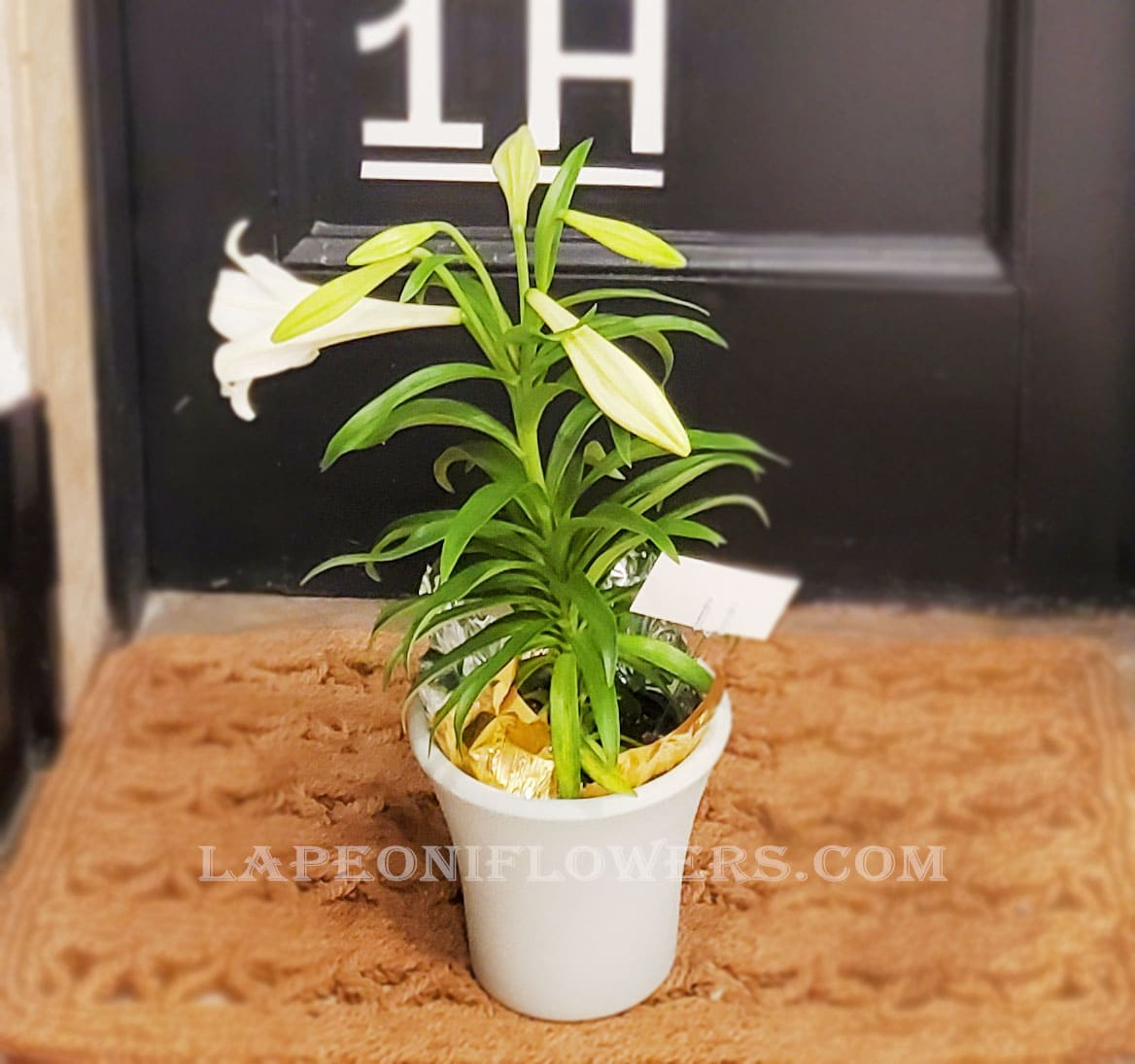Lily Plant - Lapeoni Flowers and Events