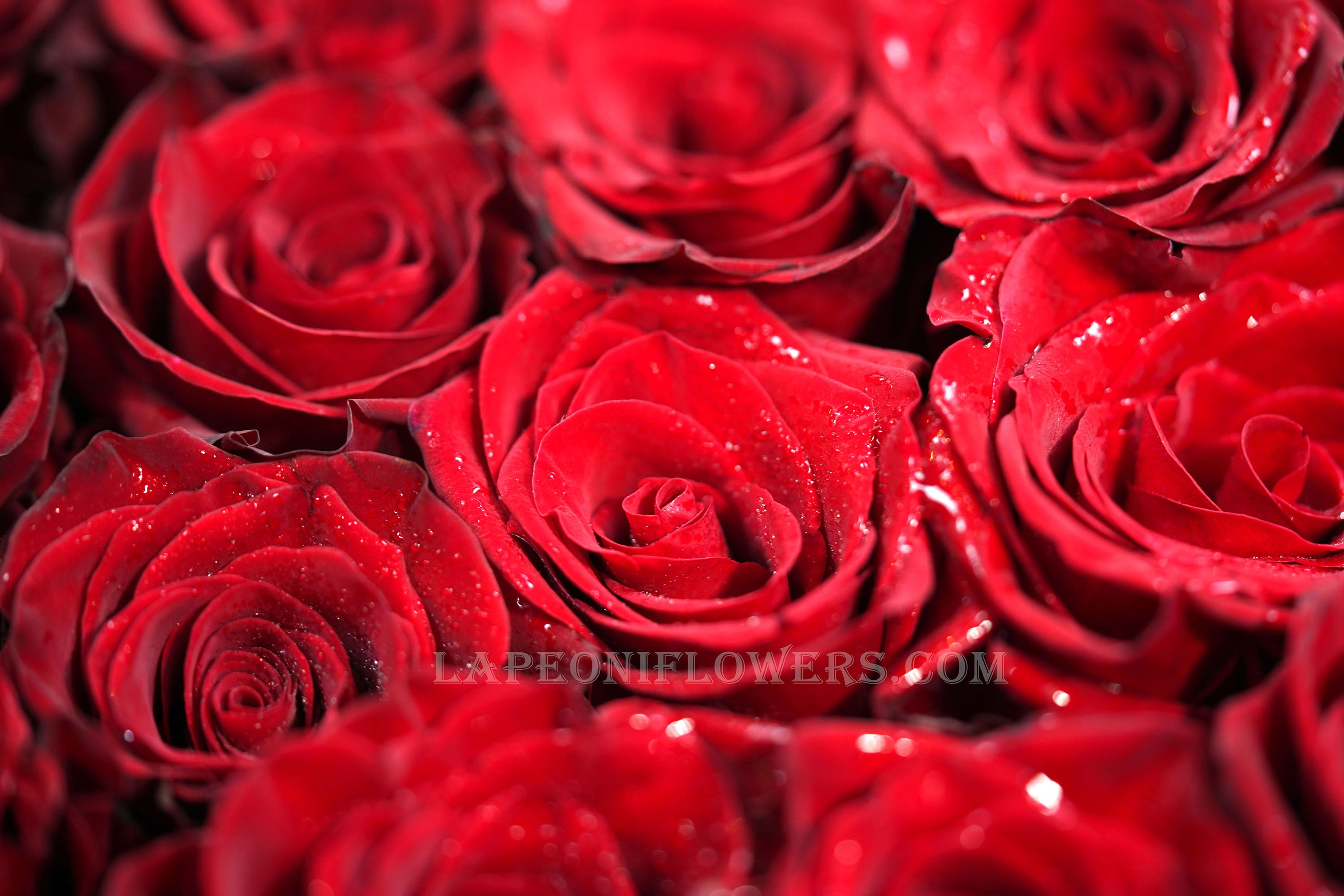 Valentine's Roses - Lapeoni Flowers and Events