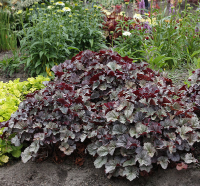Heuchera 'Northern Exposure Silver'