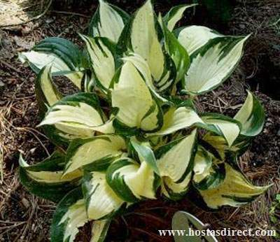 Hosta 'Loyalist'