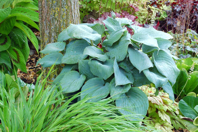 Hosta 'Aquamarine'