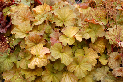Heuchera 'Northern Exposure Amber