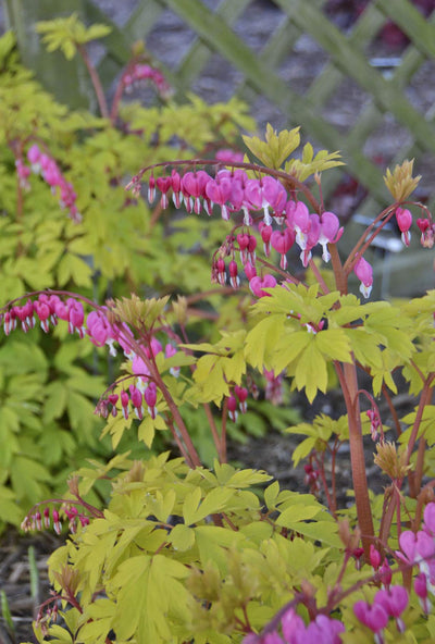 Dicentra/Lamprocapnos 'Gold Heart'