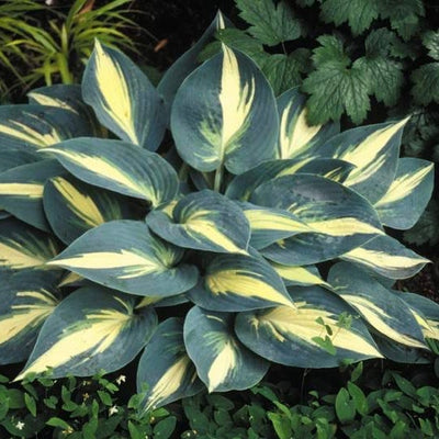 Hosta 'High Society'