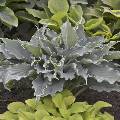 Hosta 'Waterslide'