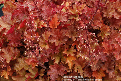 Heuchera 'Ginger Peach'