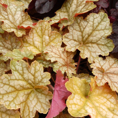 Heuchera 'Ginger Ale'