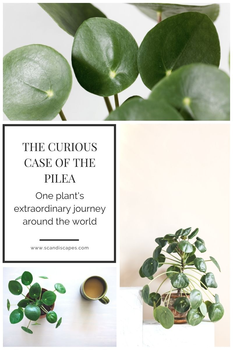 The Curious Case of the Pilea | Scandiscapes