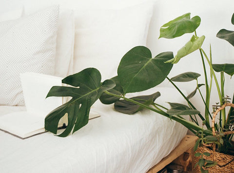 Monstera deliciosa plant next to a bed