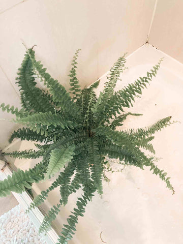 Boston fern in the shower