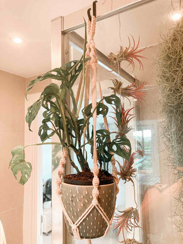 Monstera adansonii in a hanging planter in a bathroom