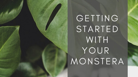 "Monstera deliciosa leaves with ""Getting started with your monstera"""