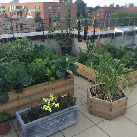 Raised beds on London roof in summer