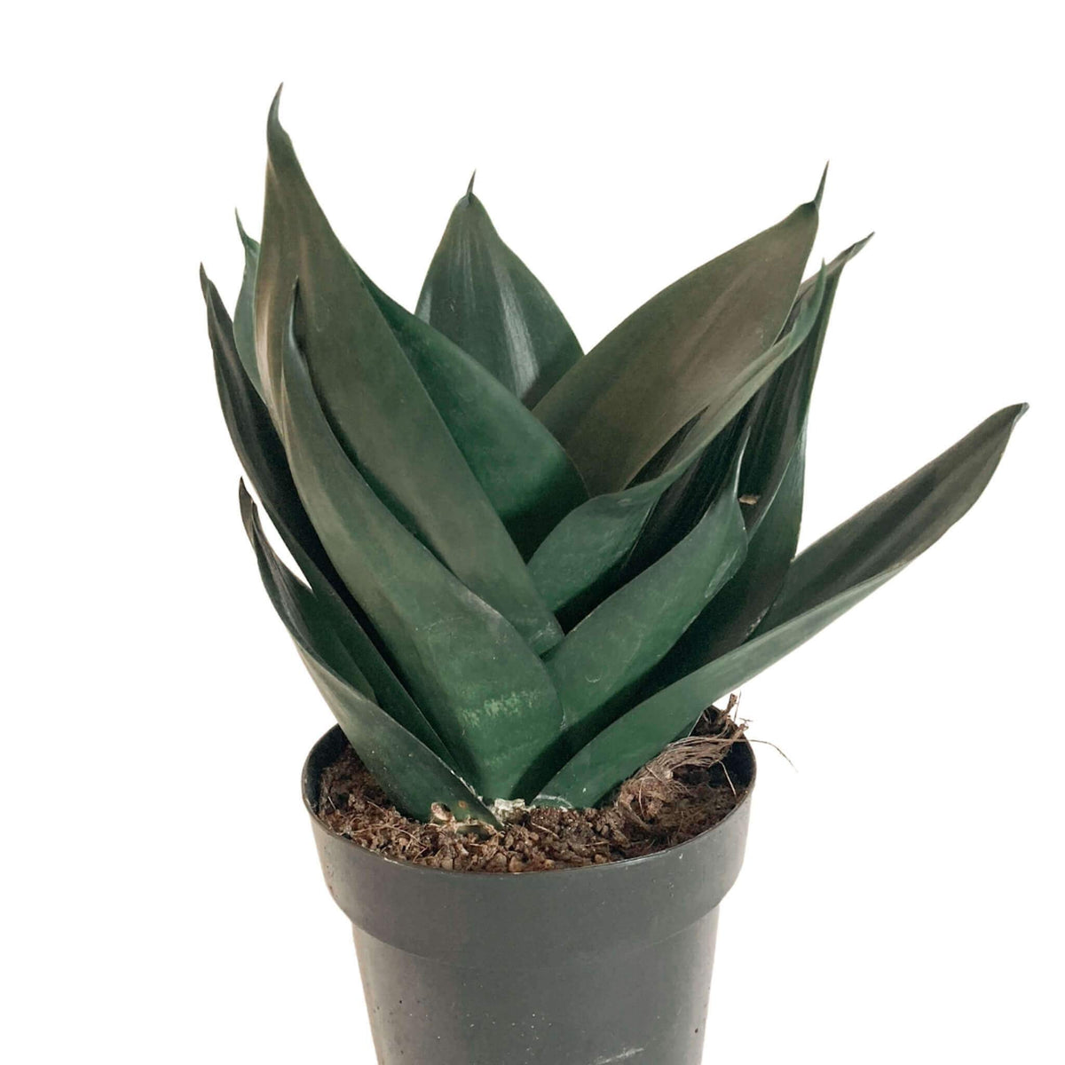 Sansevieria/ dracaena Black Dragon