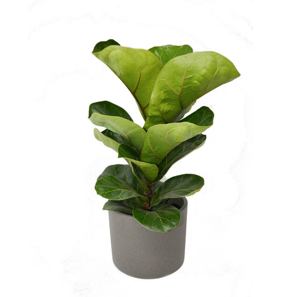 Era H13D15 pot in grey with fiddle leaf fig