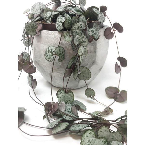 String of hearts plant (Ceropegia woodii) in geometric planter detail