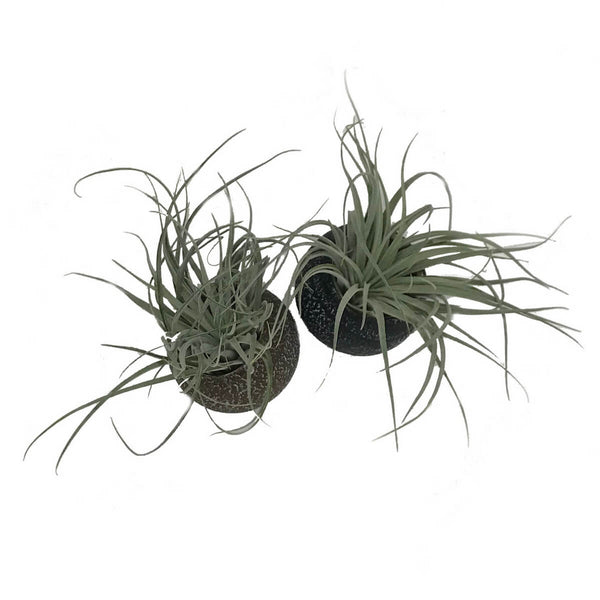 Pebble planters with air plants
