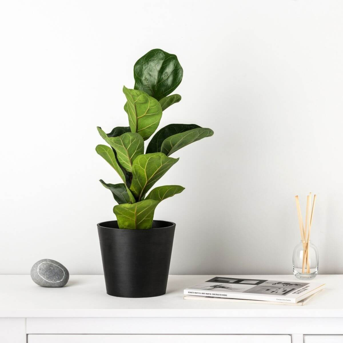 "Fiddle leaf fig 'Bambino"" - Scandiscapes"