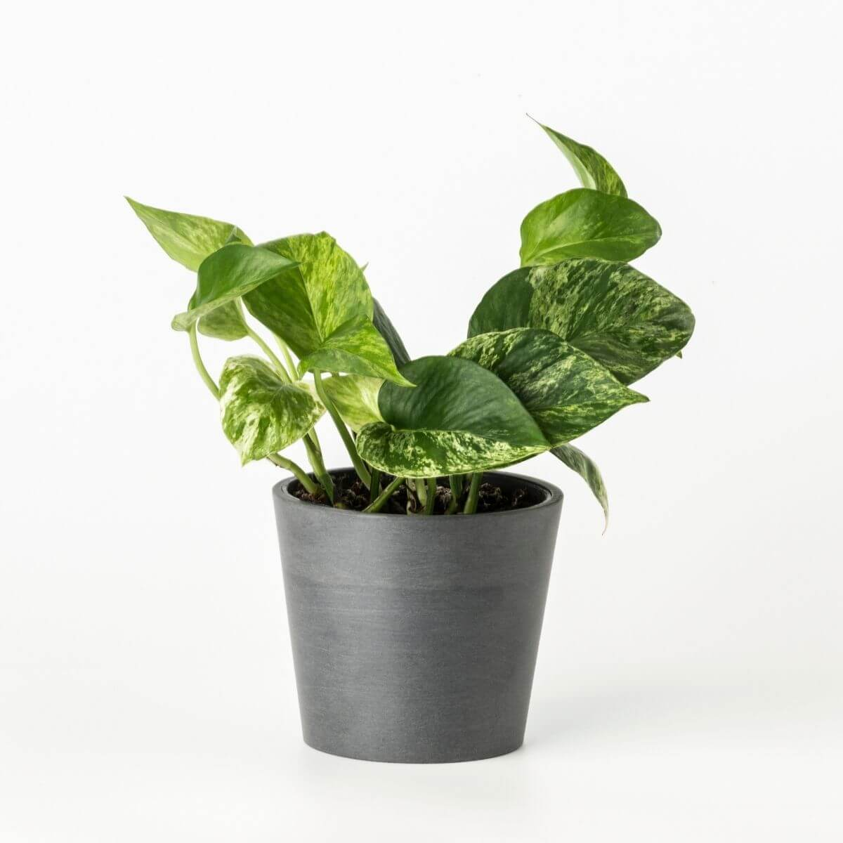 "Golden pothos ""Marble queen"" - Scandiscapes"