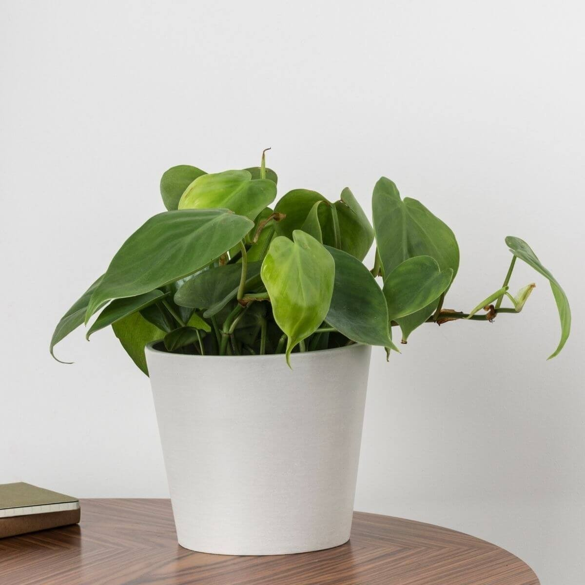 Heart-leaf philodendron - Scandiscapes