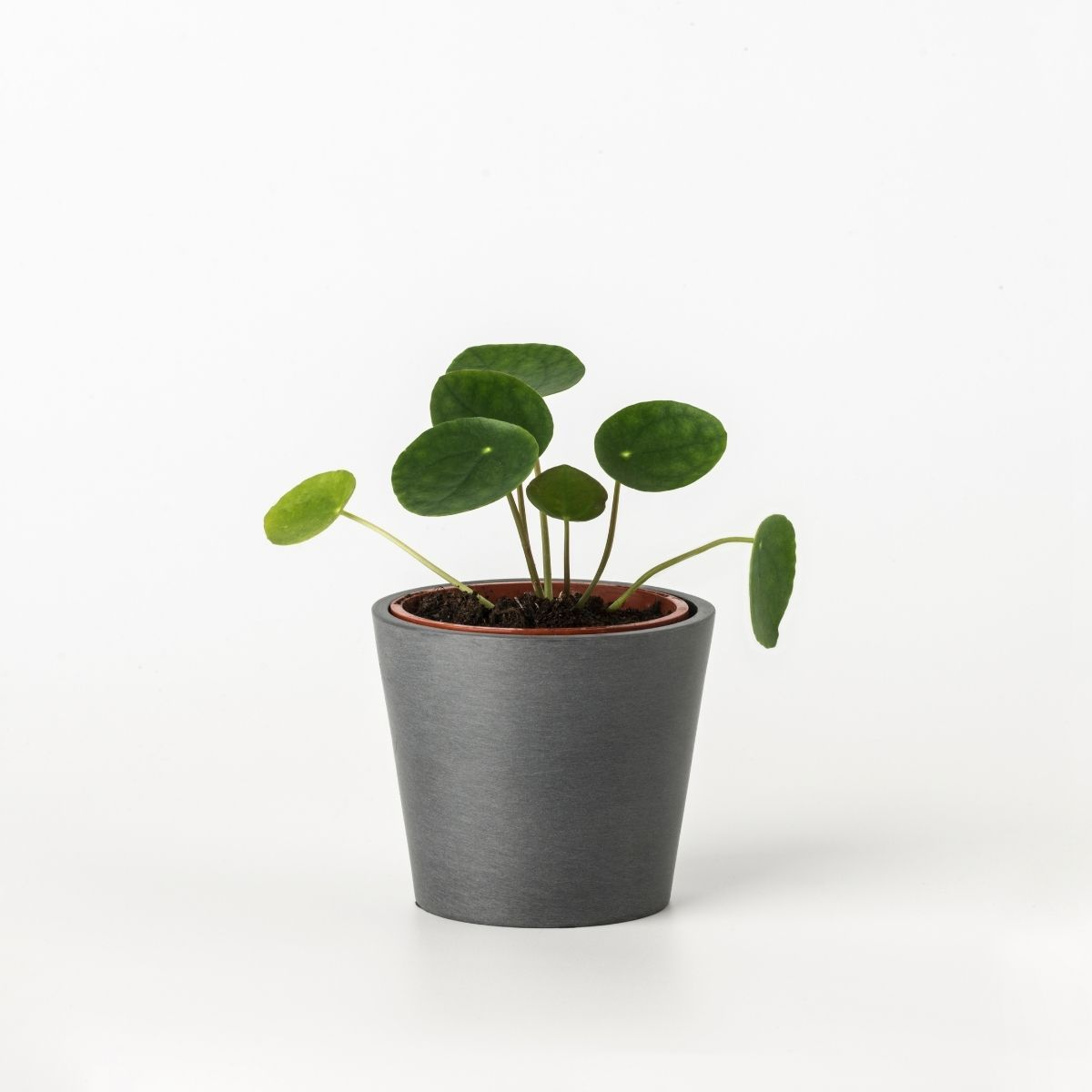 Mini pilea peperomioides - Scandiscapes