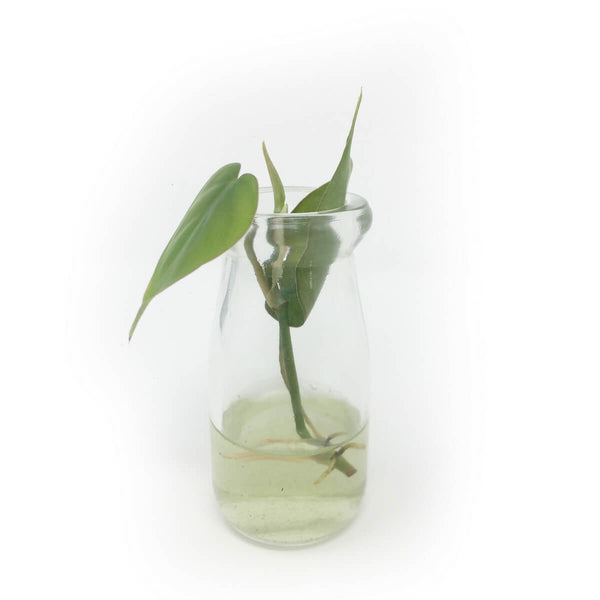 Mini milk bottle vase with heartleaf philodendron cutting
