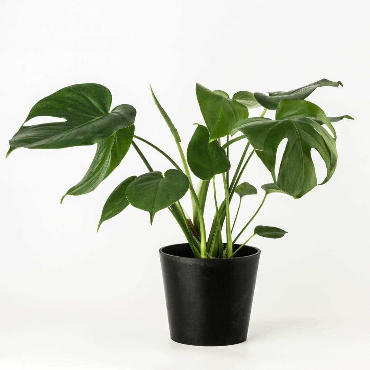 Monstera Deliciosa plant - Scandiscapes