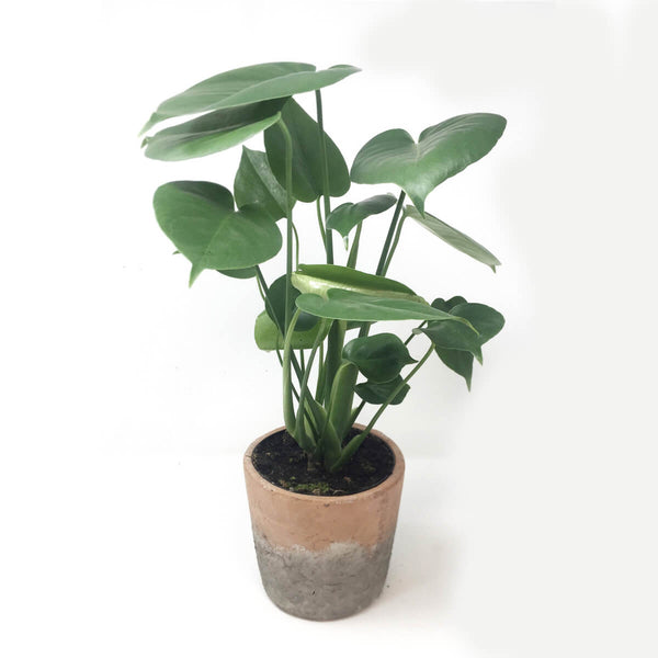 Young monstera deliciosa plant in medium terracotta planter