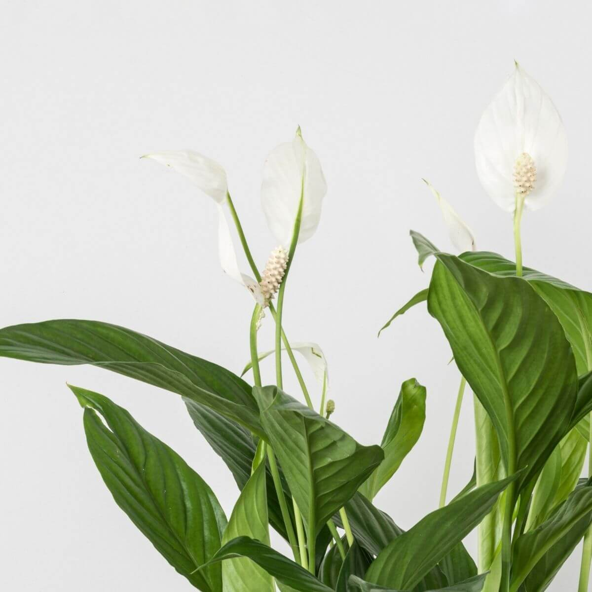 Peace lily - Scandiscapes
