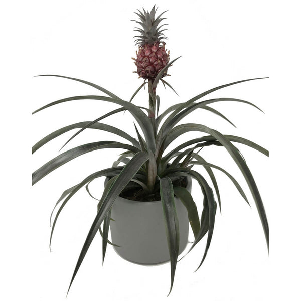 Pineapple plant in grey pot