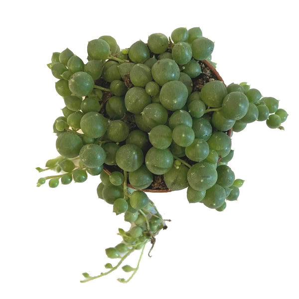 String of pearls plant (Senecio rowleyanus) top