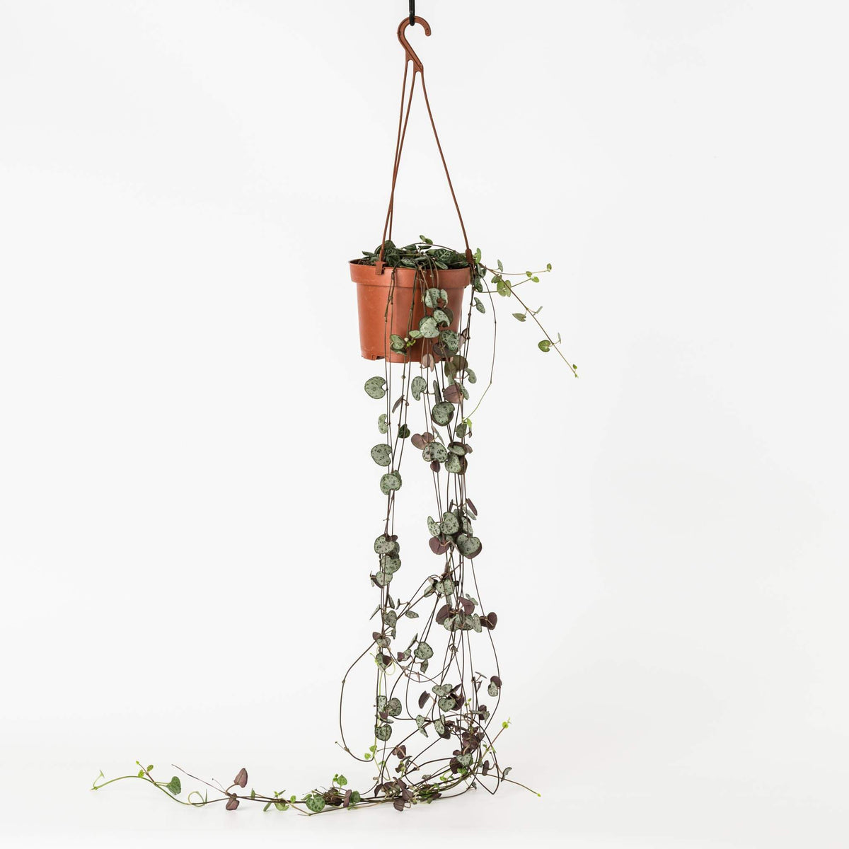 String of hearts plant - Scandiscapes